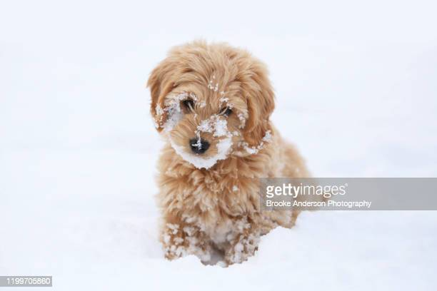 cute mini goldendoodle puppy with snow on it's face - goldendoodle stock-fotos und bilder