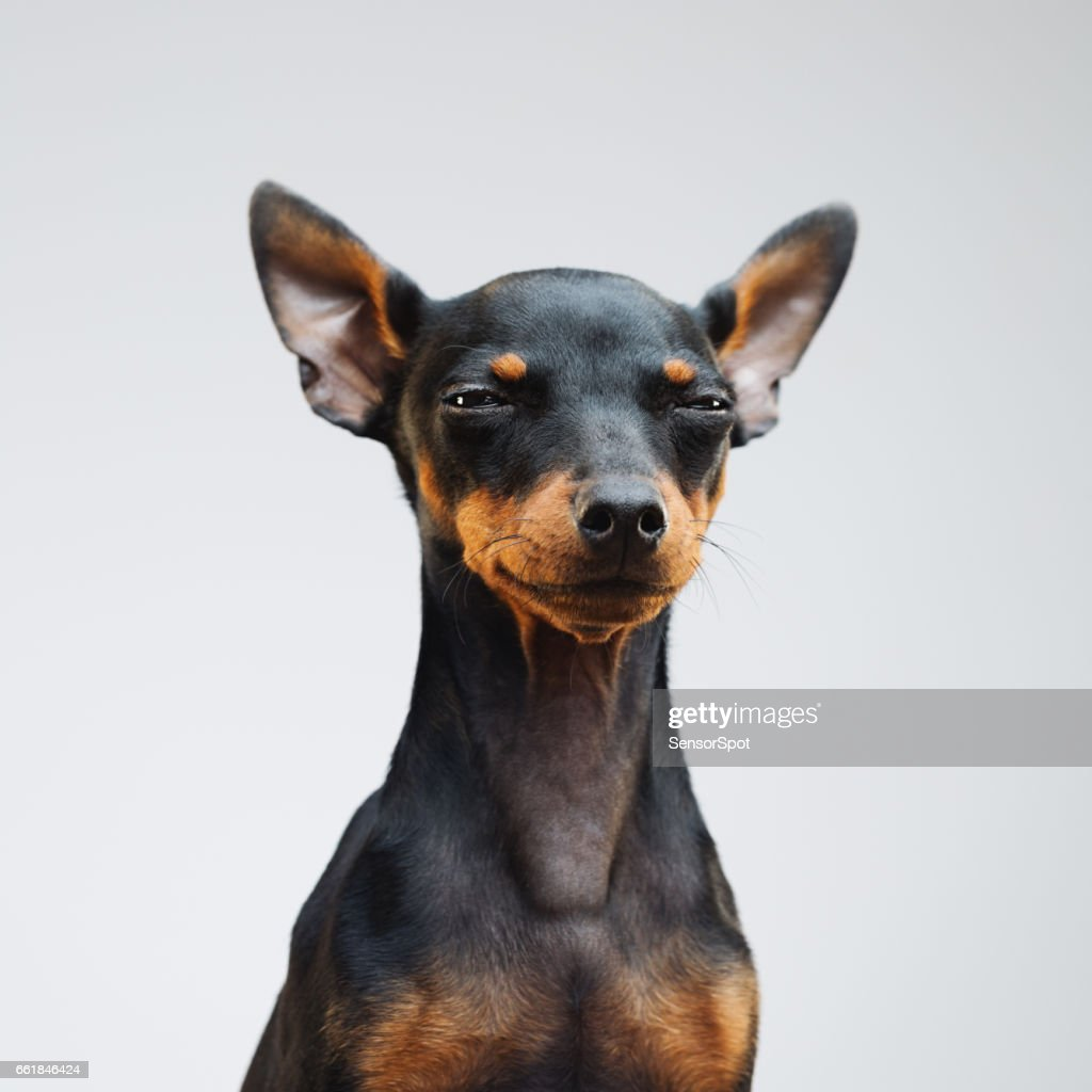 Cute miniature pinscher dog : Foto de stock