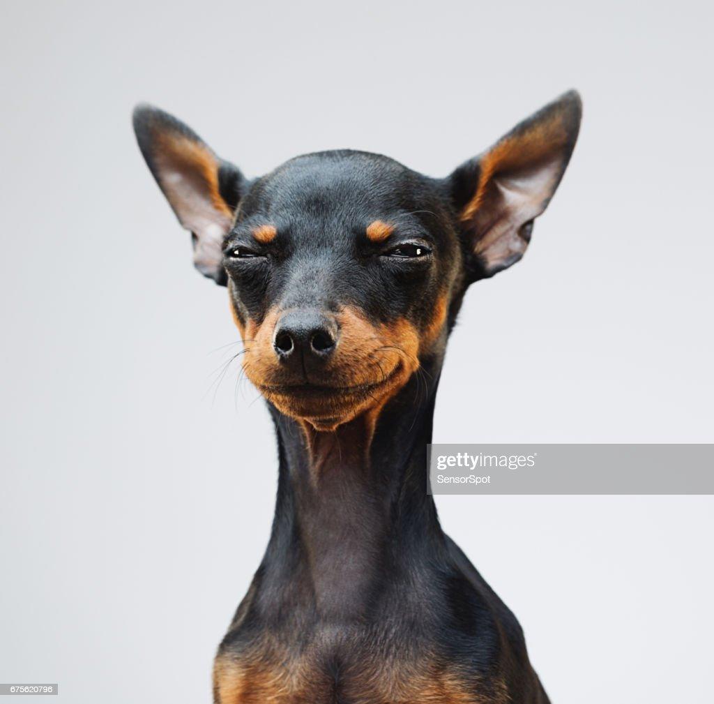 Cute miniature pinscher dog : Stock Photo