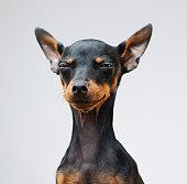 Cute miniature pinscher dog