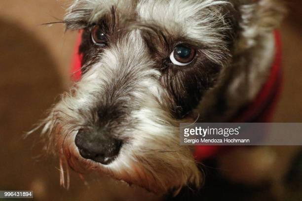 A cute miniature Schnauzer looking guilty at the camera