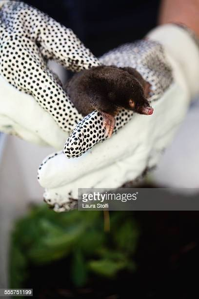 cute mole just saved from cats in garden - mole animal stock photos and pictures
