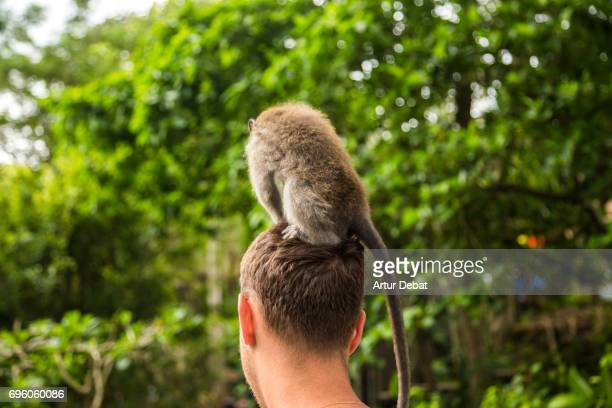 Cute monkey eating on the top of the head of a tourist in the island of Bali.