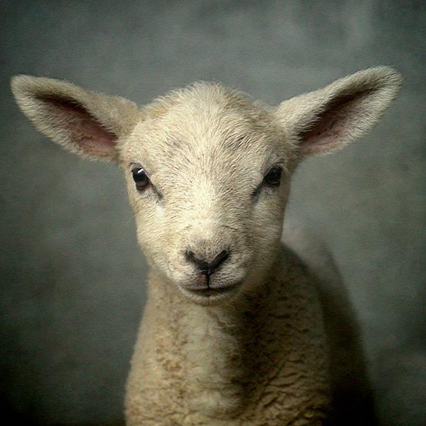 Cute New Born Lamb Wall Art