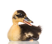 http://www.istockphoto.com/photo/cute-newborn-duckling-gm935321142-255951288