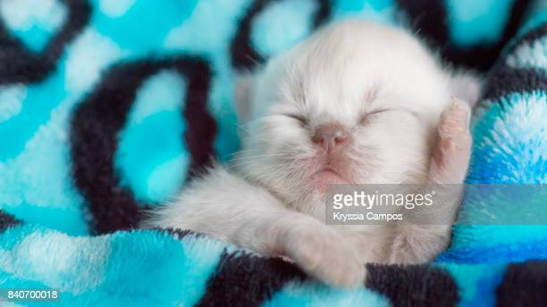 cute newborn kitten sleeping in warm blanket - gattini appena nati foto e immagini stock
