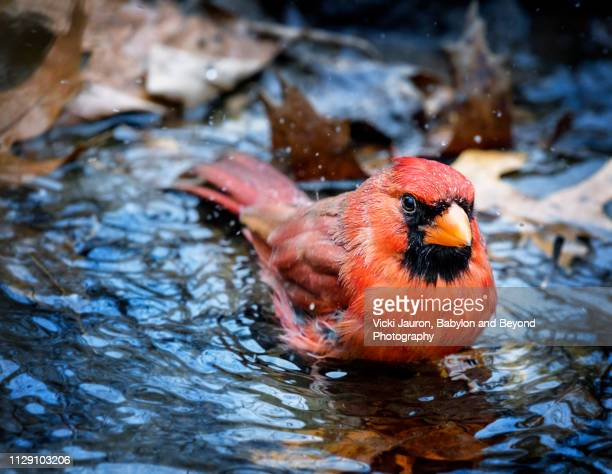 cute northern cardinal taking a bath in central park, new york - cardinal stock photos and pictures