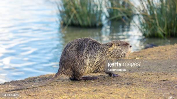 cute nutria walking near lake in day - nutria foto e immagini stock