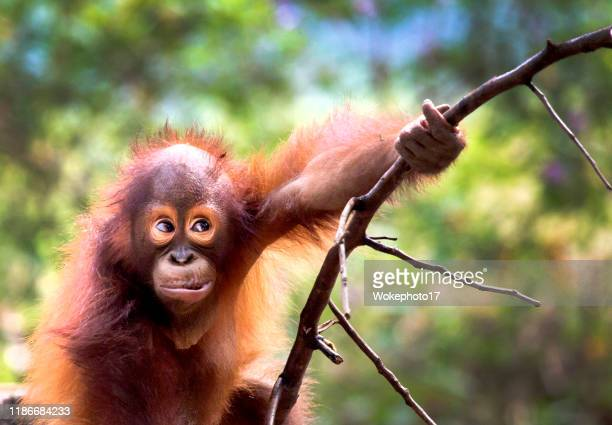 cute of baby orang utan - great ape stock pictures, royalty-free photos & images