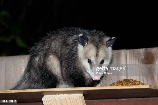 cute opossum - possum stock pictures, royalty-free photos & images