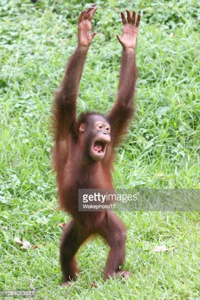 cute orang utan - funny animals stock pictures, royalty-free photos & images