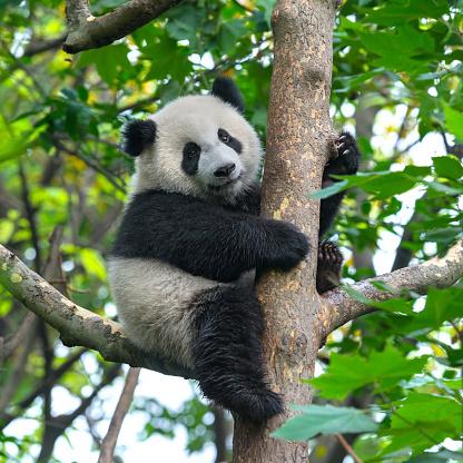 Cute panda bear climbing in tree 516446406