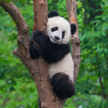 Cute panda bear climbing in tree 523761634