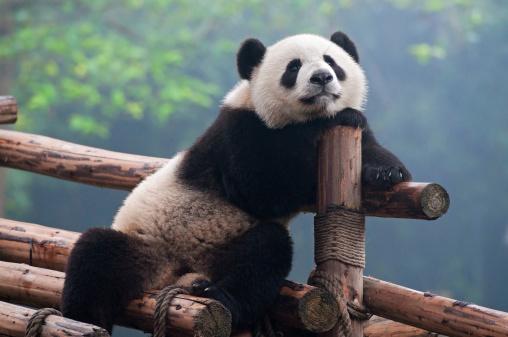 Cute panda bear 468446643