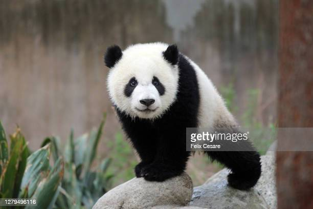 cute panda cub looking at camera - animal stock pictures, royalty-free photos & images