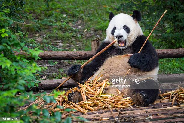 cute panda eating bamboo - panda animal stock photos and pictures