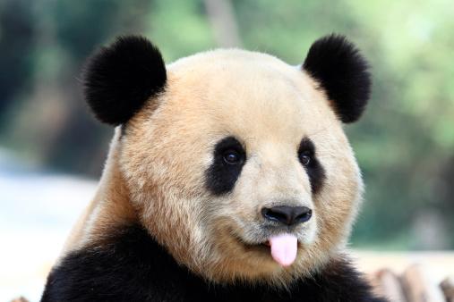 Cute Panda 182725074