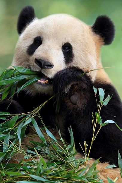 Cute Panda Wall Art