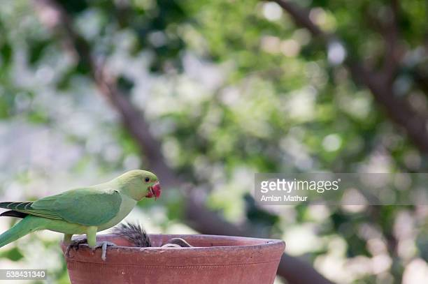 Cute parrot drinking water from an earthenware pot.