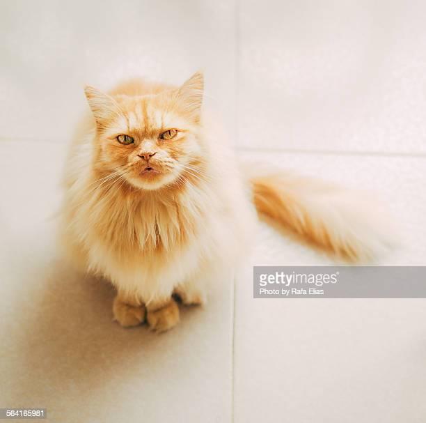 Cute persian cat looking up