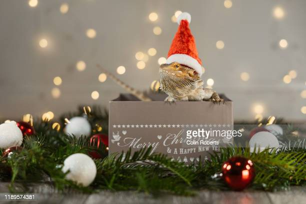a cute pet bearded dragon reptile poking his head out of a christmas gift box wearing a santa hat - bearded dragon stock pictures, royalty-free photos & images