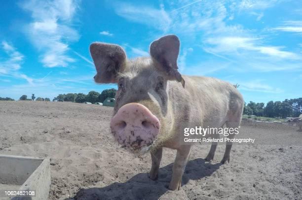 cute pig portrait - 雌豚 ストックフォトと画像