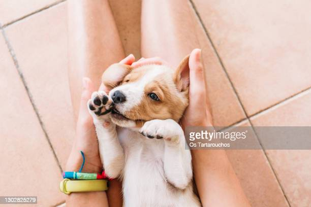 cute playful puppy on a girl's legs - puppies stock pictures, royalty-free photos & images