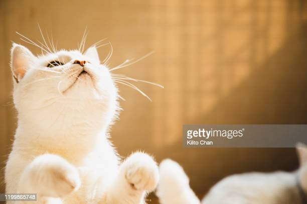 cute playful shorthair cat - animal whisker stock pictures, royalty-free photos & images