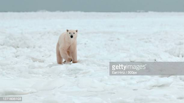 cute polar bear playing on snow, thompson, canada - pack ice stock pictures, royalty-free photos & images