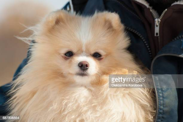 cute pomeranian being held outside in cold winter snow. - istock photo stock pictures, royalty-free photos & images