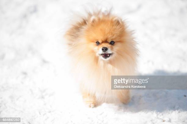 cute pomeranian playing outside in cold winter snow. - istock photo stock pictures, royalty-free photos & images