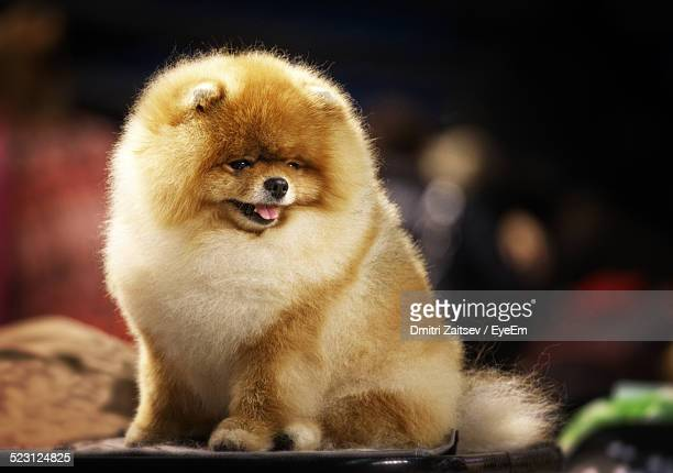 cute pomerian puppy sitting outdoors - pomeranian stock photos and pictures