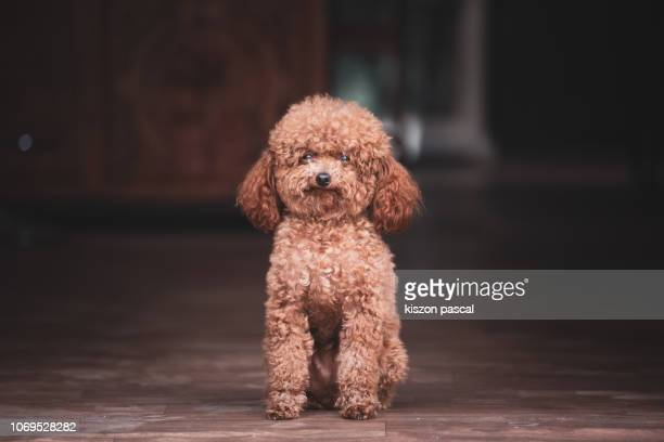 cute poodle dog waiting in front of a house and looking at camera during day .