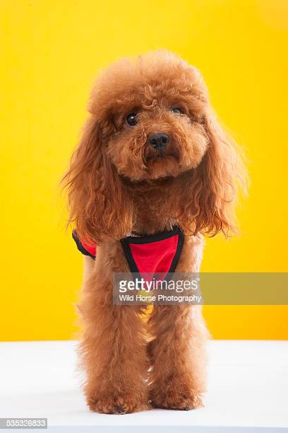 cute poodle in red cloth - caniche toy photos et images de collection