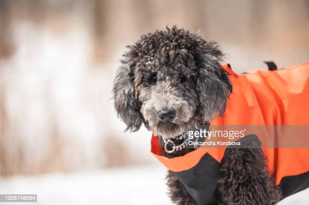 cute poodle playing outside in cold winter snow. - dogs tug of war stock pictures, royalty-free photos & images