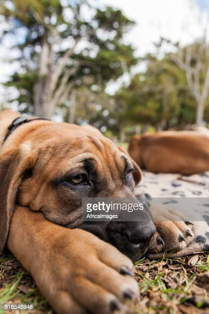 Cute portrait of a boerboel puppy laying on the grass.
