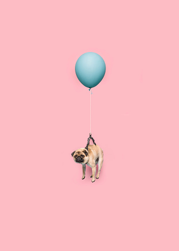 Cute Pug dog floating with a balloon - gettyimageskorea