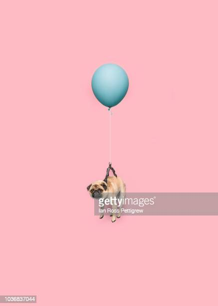 cute pug dog floating with a balloon - fliegen stock-fotos und bilder