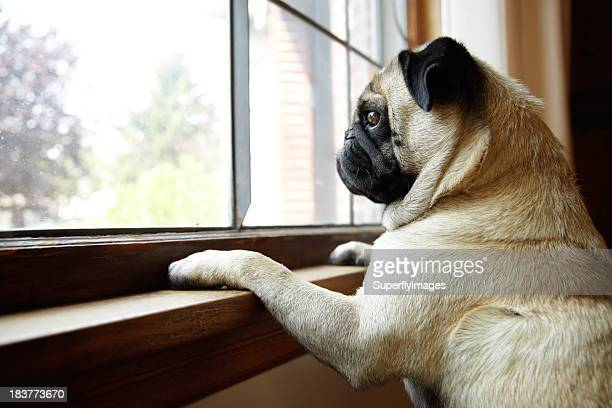 Cute Pug Dog Looks out Window with Paws on Windowsill