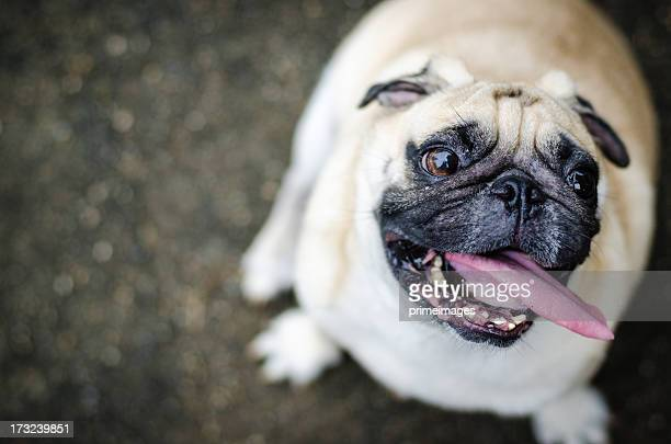 Cute pug dog with funny face