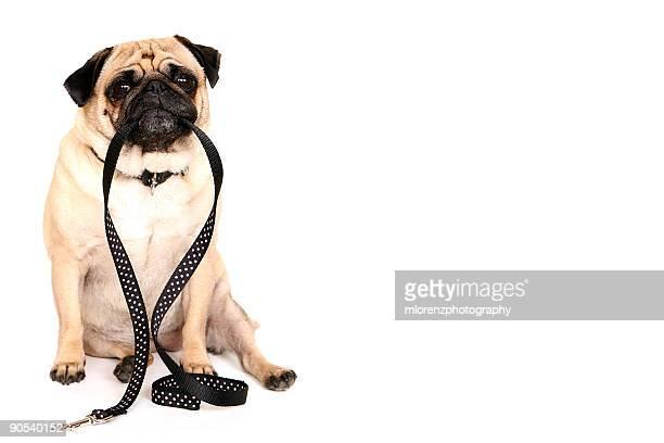 Cute Pug holding a leash