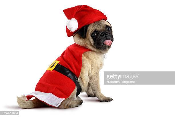 Cute pug puppy wearing a santa claus