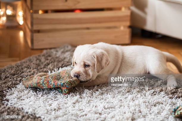 cute puppy at home - beige shoe stock pictures, royalty-free photos & images