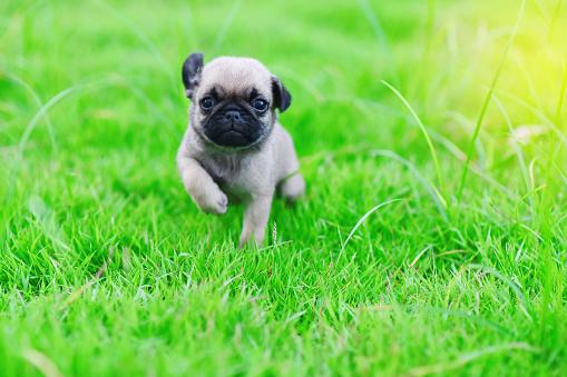 Cute puppy brown Pug 1010710424