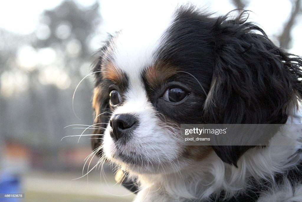 Cute Puppy Cavalier King Charles Spaniel Puppy High Res Stock Photo Getty Images