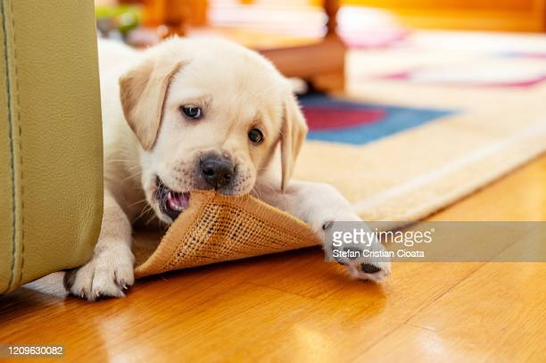 cute puppy chewing the carpet - puppy stock pictures, royalty-free photos & images