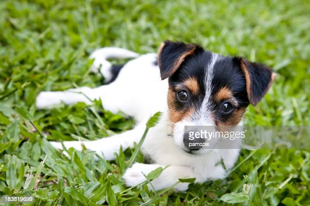 Cute Puppy Dog outdoors lying on green grass