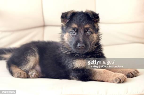 Cute puppy in a cozy sofa