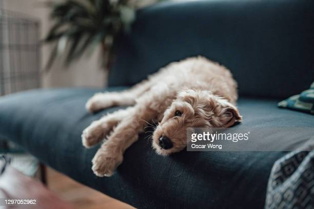 cute puppy lying on sofa - sadness stock pictures, royalty-free photos & images