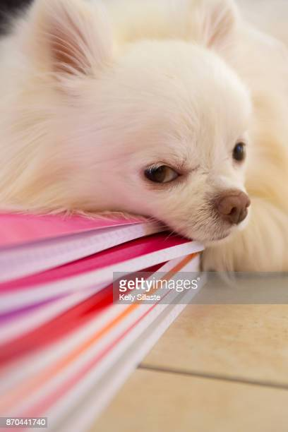 cute puppy napping on notebooks - long haired chihuahua stock photos and pictures